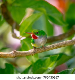 The puerto rican tody is an endemic bird from the island of Puerto Rico.