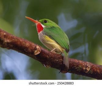 Puerto Rican Tody, Todus mexicanus