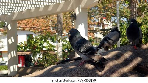 Puerto Vallarta, Jalisco/Mexico - January 18, 2018:  Pigeons in Hidalgo Square in downtown Puerto Vallarta