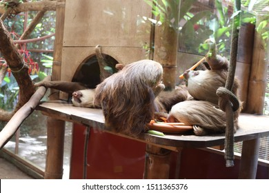 Puerto Viejo de Talamanca, Costa Rica - September 18 2019: At the Jaguar Rescue Center, a group of young two-toed sloths eat carrots, while another sloth in the background stretches its arms.
