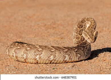 A puff adder (Bitis arietans) in defensive position, southern Africa