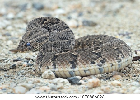 Puff adder texas