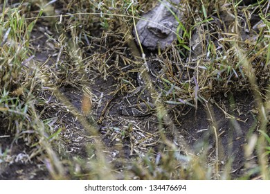 Puff adder snake , bitis arietans, lying coiled in grass, typical behavior of this snake which strikes its prey from ambush and is highly venomous causing fatalities to humans