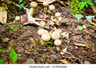 Puff ball fungi of group gasteroid fungi in division basidiomycota. They don't have open cap with spore bearing gills instead produced internally. Mushroom is fleshy, spore-bearing fruiting body.