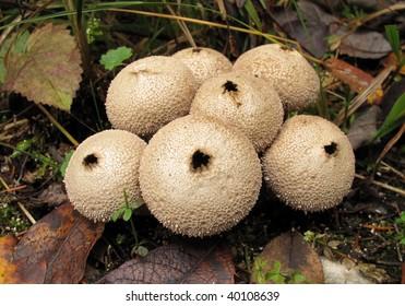 Puffball mushrooms Lycoperdon perlatum - Shutterstock ID 40108639