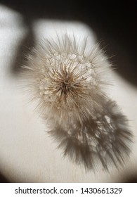 Puffball and its shadow of the dry flower of Salsify (Tragopogon) on a sheet of plywood