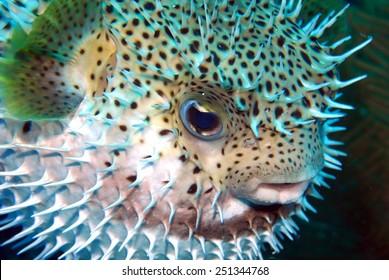 Puffed Porcupine fish