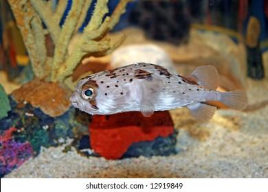 Puffer Blowfish