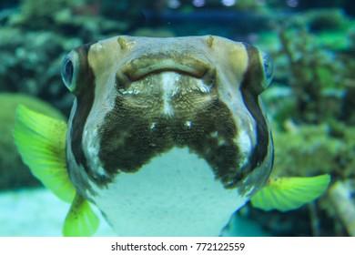 Puffer fish in the aquarium