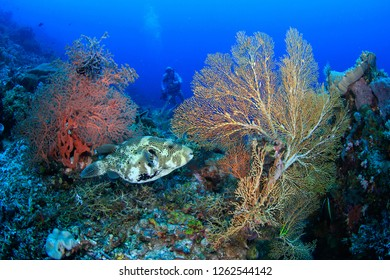 Puffer fish in between lush sea fan corals win diver in the background in blue tropical water – diving in Raja Ampat, Indonesia