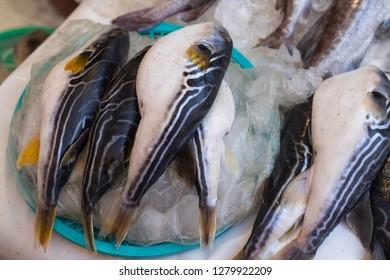 Puffer fish or blowfish sell in fish market. globefish. fugu.
