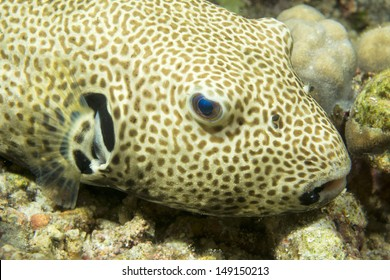 A puffer fish close up portrait in Philippines
