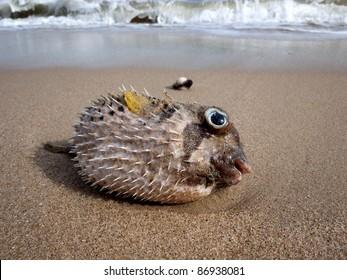 Puffer fish dead on the beach.
