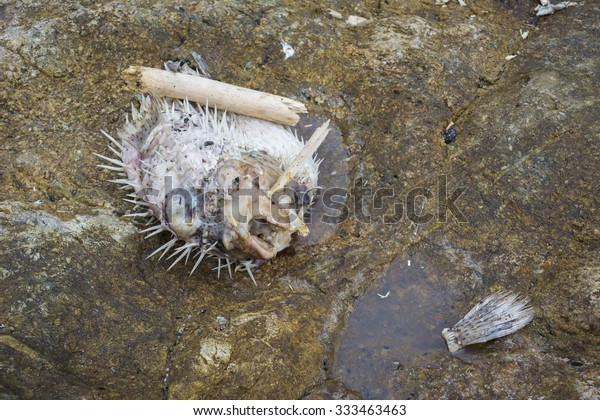 The puffer fish has a rotten death on the rocks