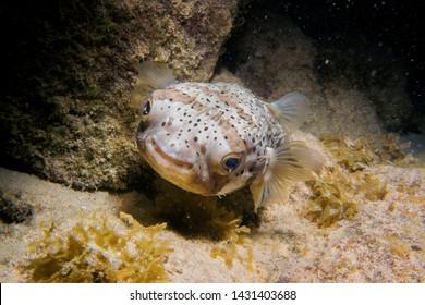Puffer Fish at night dive