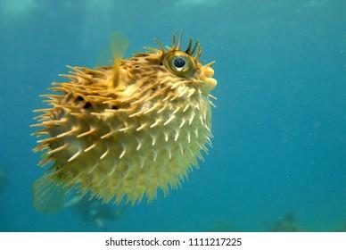 puffer fish seeming along