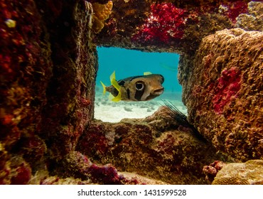 Puffer Fish Swimming Behind a Reef