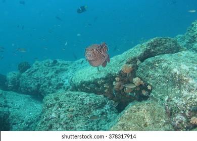 Puffer fish underwater