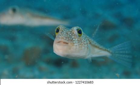 puffer fish underwater close up