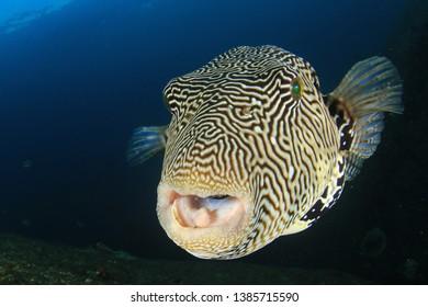 Puffer fish underwater portrait. Pufferfish