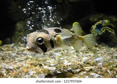 Puffer Fish .White-spotted puffer (Arothron hispidus).