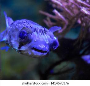 Porcupinefisharefishbelonging to the familyDiodontidae(orderTetraodontiformes), blowfish,balloonfish,globefishand pufferfish