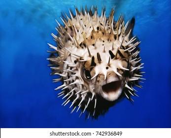 Pufferfish Closeup Background