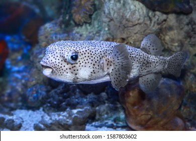 Pufferfish (Tetraodontidae) are a family of fish also called puffers, balloonfish, blowfish, blowies, bubblefish, globefish, swellfish, toadfish, toadies, honey toads, sugar toads, and sea squab.