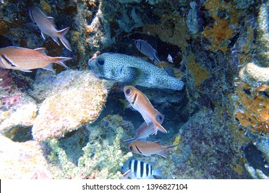 Pufferfish (Tetraodontidae) hiding from predators in between the coral alongside a big eyed squirrelfish (Holocentridae).