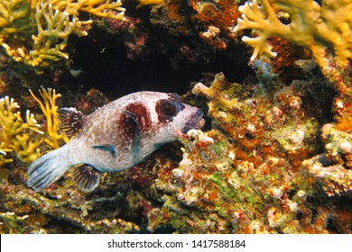 Pufferfish (Tetraodontidae) on the tropical yellow reef. Fish in the sea, underwater photography. Scuba diving on the coral reef. Marine wildlife picture.