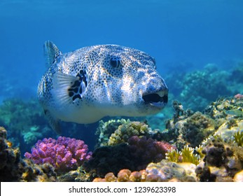 Pufferfish (Tetraodontidae) and shallow coral reef. Big white spotted fish and corals in the blue water. Snorkeling with the giant marine animal.