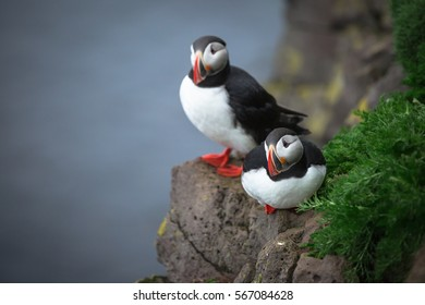 Puffin bird in Iceland