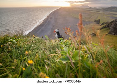 Puffin Birds in Iceland