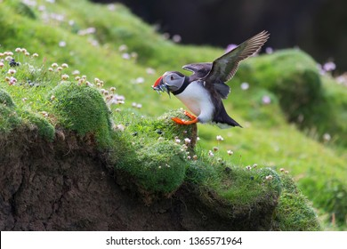 Puffin bringing fish caught to a nest on Shetland Island for its chicks