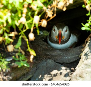 Puffin in a burrow on Skellig Michael island on the Wild Atlantic Way in Kerry in Ireland.