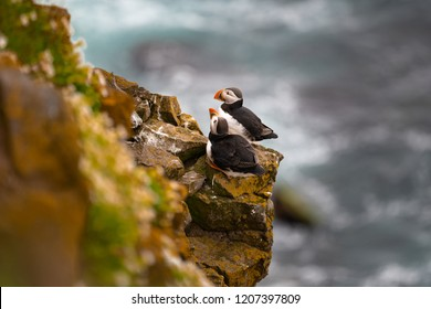 Puffin, also called bottlenose, or sea parrot, any of three species of diving birds that belong to the auk family, Alcidae (order Charadriiformes). They are distinguished by their large, brightly colo