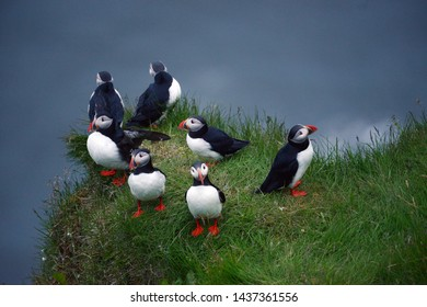 Puffin colony at Dyrholaey, Iceland in Summer