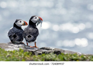 Puffin couple enjoying the view before diner