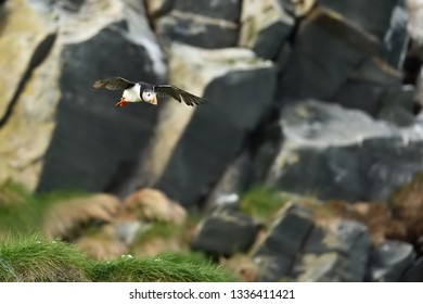 Puffin in flight with rocky background