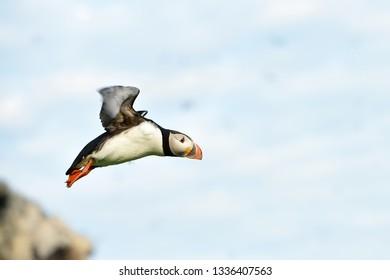 Puffin in flight. Puffin takeoff.