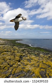 A Puffin (Fratercula arctica) with a beak full of sand eels flying over the shore in the Farne Islands off the Northumbria coast in northeast England.