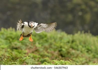 Puffin (Fratercula arctica) - Final Descent