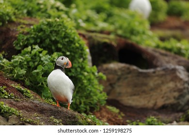 Puffin near nest