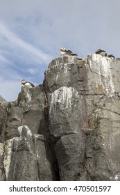 Puffin Nesting on Farne Islands, Northumberland, England, UK