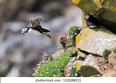 Puffin on the cliff of Ireland during the breeding season