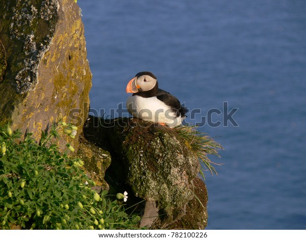 Puffin on the cliff of Látrabjarg in the Westfjords of Iceland