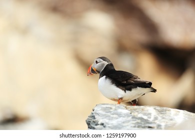 Puffin on the rock
