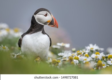 A puffin on the Shetland Islands surrounded by sea mayweed flowers