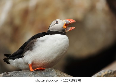 Puffin with an open beak