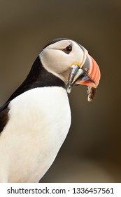 Puffin portrait with beek full of fish on its way to nesting burrow